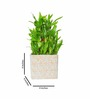 Nurturing Green Lucky 3 Layer Bamboo Plant In Brown Raindrop Ceramic Pot