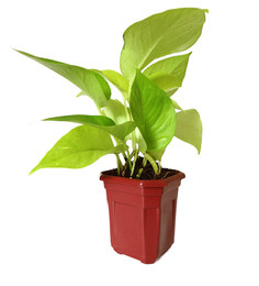Rolling Nature Good Luck Golden Money Plant In Maroon Hexa Pot