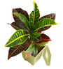 Rolling Nature Croton Petra in White Square Pot