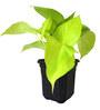 Rolling Nature Good Luck Golden Money Plant in Black Hexa Pot