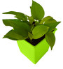 Rolling Nature Good Luck Golden Pothos In Green Square Colorista Pot