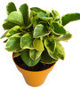 Rolling Nature Variegated Peperomia in Orange Colorista Pot