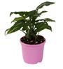 Sunrise 10 cm Pink Colour Planter Pot by Chhajed Garden