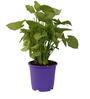 Sunrise 19.5 cm Purple Colour Planter Pot by Chhajed Garden