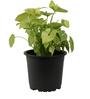 Sunrise 22 cm Black Colour Planter Pot by Chhajed Garden